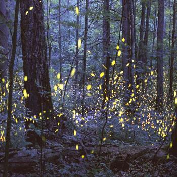 While difficult to predict, the synchronous fireflies' annual light show is considered one of the m